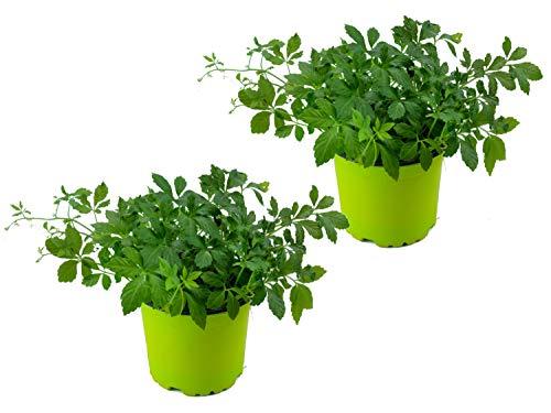2er Set Jiaogulan Pflanzen Gynostemma pentaphyllum