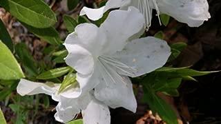 (3 Gallon) 'Gumpo White' Azalea, Huge, Bright White Single Blooms, Evergreen Shrub, Cold Hardy