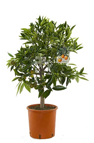 Citrus x ´Kucle` 80-100 cm - Kumquat x Clementine - Zitruspflanze - Kucle-Bäumchen