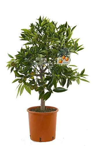 Citrus x ´Kucle` 80-100 cm - Kumquat x...