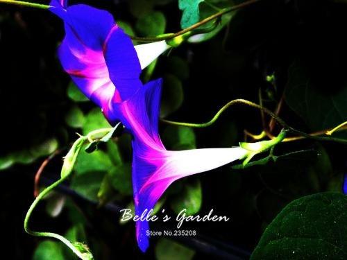 100 pcs/sac graines de pétunia, pétales de double graines de fleurs de pétunia, plante en pot bonsaï vivaces pour le jardin de la maison 3