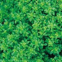 Suffolk herbes g?n?rations Lot???Basilic???grec???Ocimum Age