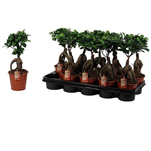 Bonsai Ficus microcarpa Ginseng 35 cm...