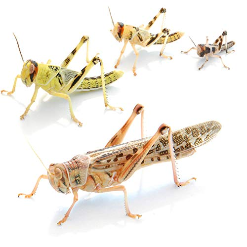 Wüstenheuschrecken klein 100 STK. Futterinsekten