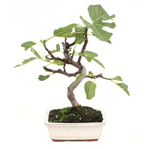 Bonsái Ficus carica 7 años HIGUERA