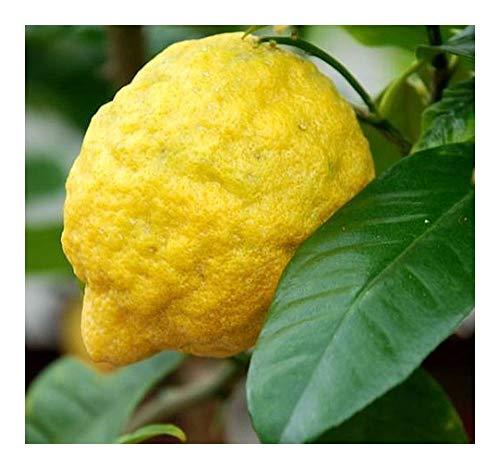 Citrus medica - Zitronatzitrone - 5 Samen