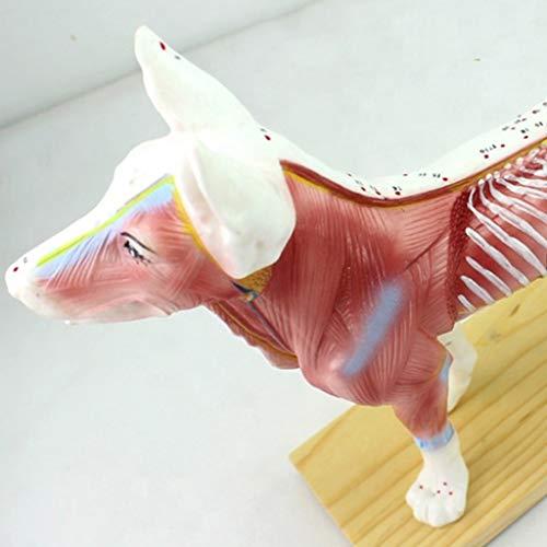 FXQ Tieranatomiemodell - Akupunkturpunkte Hund/Katze Anatomisches Modell Vision Katze (36 Akupunkturpunkte) & Hund (72 Akupunkturpunkte) Wissenschaftliche Tieranatomie,Dog