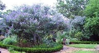 TEXAS LILAC CHASTE TREE VITEX AGNUS CASTUS 2 SEEDS