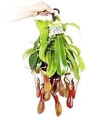 Nepenthes envió una planta Variedad a la suerte