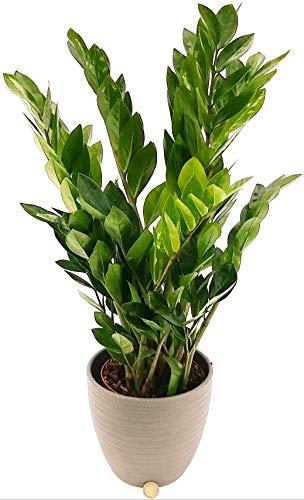 ZAMIOCULCAS IN VASO CERAMICA ANTRACITE, altezza 70cm vaso 18, pianta vera
