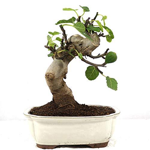 Bonsái, Higuera, Ficus carica, 10 años, altura 28 cm