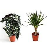Pack 2 plantas - Alocasia Amazonica + Dracaena - Plantas de interior populares - Planta para la casa o la oficina - plantas naturales