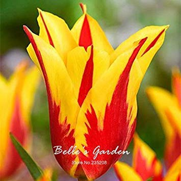 ric 5pcs Rare Rouge Jaune Bord Tulipe BulbsTulip Fleur Tulipa « Fire » Jardin Plantes vivaces en Pot Bulbes