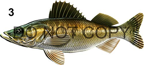 """Walleye Beautiful Fish Decal for Your Boat, Vehicle, Etc. Many Sizes and Styles Available 12"""" to 40""""…"""