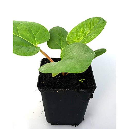 Gemüsepflanze - Roter Rhabarber / Rheum rhabarbarum - 1 Pflanze im Topf