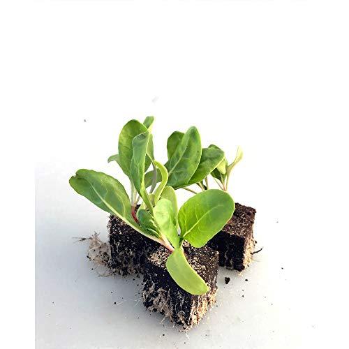 Gemüsepflanzen - Mangold - bunt / Krautstiel - Beta vulgaris subsp. vulgaris - 12 Pflanzen