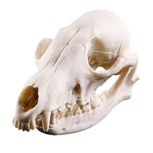 Generic Realistisch Fuchs Schädel Figur Harz Skelett Modell für Lehre Sammler Aquarium Dekor