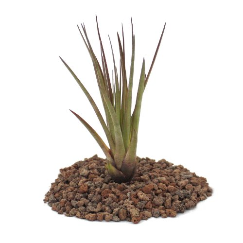 Exotenherz - Tillandsia melanocrater tricolor - lose Pflanze gross