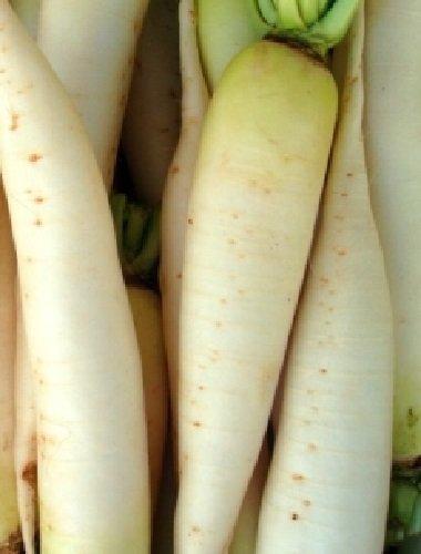 HÉRITAGE NON OGM géant Diakon Radis 100 graines de radis à long 2ft