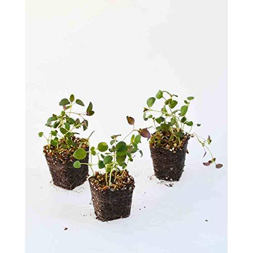 Kräuterpflanzen - Thymian/Tim - Thymus vulgaris - 3 Pflanzen im Wurzelballen