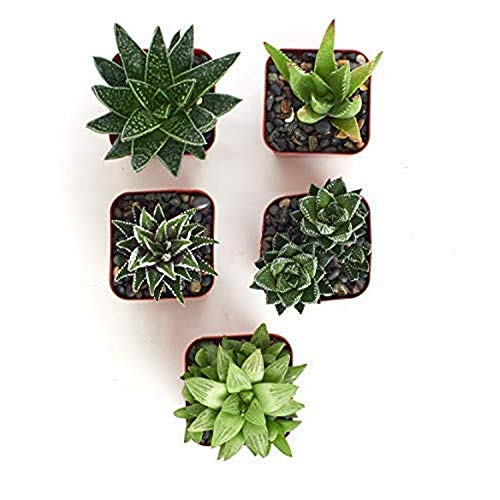 """Shop Succulents Haworthia Alluring Live Aloe Hand Selected for Health, Size 