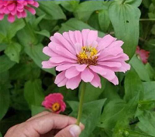 XINDUO Jardin Graines,Plante de Jardin Zinnia graines de Fleurs-Pink_2000 Capsules,Rare graines de Multicolor
