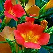ANVIN Seeds Package: Madame Galen Vine - Campsis × Tagliabuana