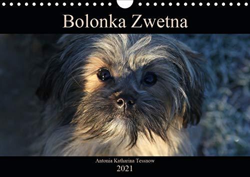 Bolonka Zwetna 2021 (Wandkalender 2021 DIN A4 quer): Anschaulich, liebevoll und kreativ wurde hier...