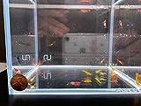 Assorted Neocaridina davidi Shrimp - 10 Pack
