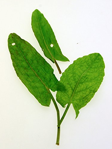 Großer Sauerampfer (Rumex acetosa) 600 Samen Wiesen-Sauerampfer