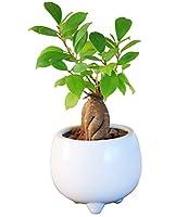 鉢植えミニ観葉(ガジュマルの剪定)