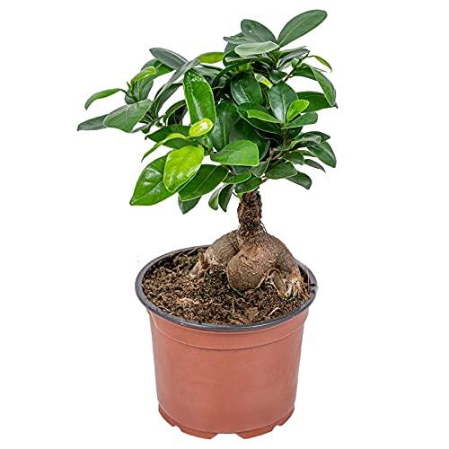 Ficus Ginseng Planta Natural de Interior Ficus Retusa o Ficus Bonsái