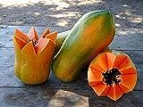 Seeds meradol maradol Caribbean red Caribbean Sunrise Papaya Plant Big Fruit, 25...