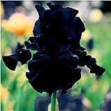 Kaimus 50pcs Iris Graines Rare Graines de Fleurs Maison Jardin Paysage Fleurs Vivaces Graines