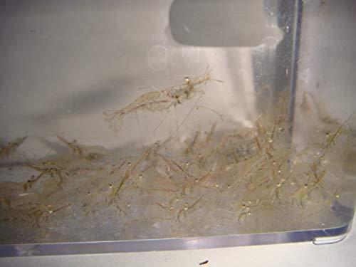 AQUACULTURE NURSERY FARMS Feeder Shrimp Live Saltwater Grass Shrimp Ghost Shrimp Seahorse Food (100cnt)