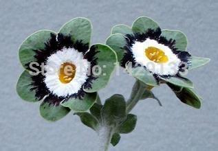 Livraison gratuite 200pcs européenne Seeds primevère Primula malacoides fleur Semillas de Flores Pour Garden Home Plante