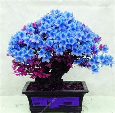 GETSO 100pcs Rare Jardin Azalea rhododendrons azalées Flores bonsaïs plantas Fleur Ressemble à Sakura Japanese Cherry Blooms Plante en Pot: 13