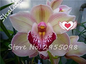 A bag = 200pcs Cymbidium Orchid, Multi Color Cymbidium Orchid Plant, Bonsai Flower Seeds,Natural Growth,Plant for Home Garden 14