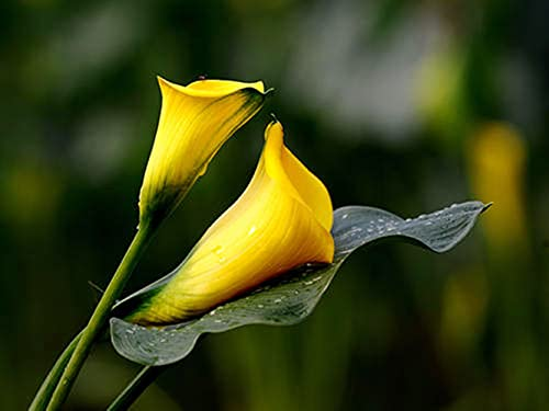 Calla Lily Bulbs,A Group of Flowers competing for Beauty,Magical Multicolored Blooming Flowers-2,2Bulbs