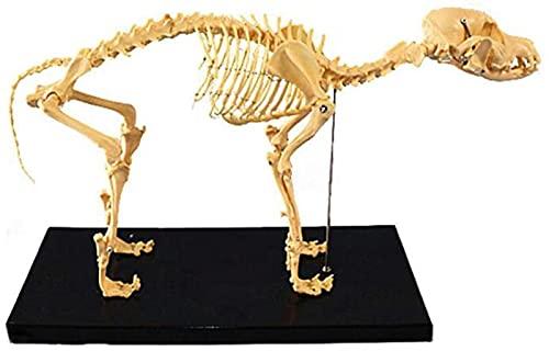 GDEVNSL Modelo anatômico de esqueleto canino, modelo de osso de cães, modelo anatômico de esqueleto para veterinário de biologia humana