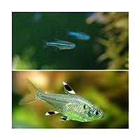 (熱帯魚)グリーンネオンテトラ(10匹) + プリステラ(6匹) 北海道・九州航空便要保温