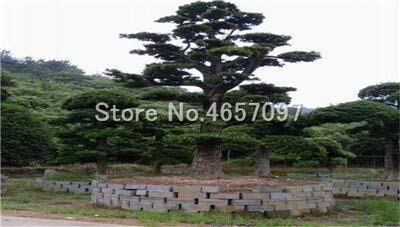 Bonsai Heiße 20 Stück Topf Seltenes großblättrige steineibe Bonsai Tropische Gärten dekorative Blumen immergrün: 9