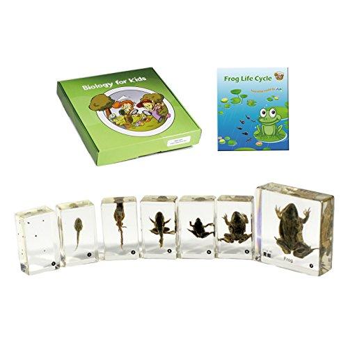 REALBUG - ESE-1106 Frog Life Cycle