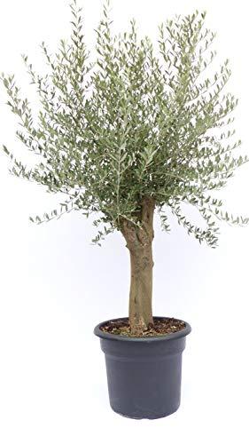Olivenbaum 160-180 cm, 40 Jahre alt, beste Qualität, winterharte Olive