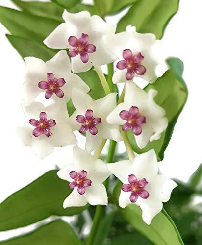 Fangblatt - Hoya Bella - wunderschöne hängende Zimmerpflanze im Ampeltopf - ebenso Wachsblume/Porzellanblume genannt - pflegeleichte Pflanze mit weißen Blüten