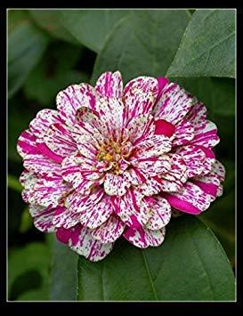 GEOPONICS 17: 20PC Authentisches zinnie Samen. Colorfuls Samen Bonsai, alle Arten von Farben, einfache Aussaat