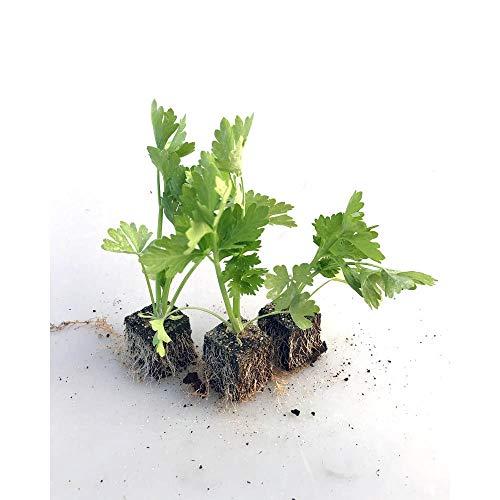 Gemüsepflanzen - Stangensellerie/Staudensellerie - Apium graveolens var. dulce - 12 Pflanzen