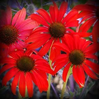 Tomato Soup Coneflower Flower Seeds 50 Stratisfied Seeds