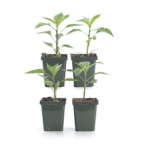Plants by Post 4-inch Pepper Serrano, Set of 4, Green