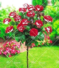 ShopMeeko SEEDS: 100pcs / bag Seltene und bunten Rosenbaum pflanzt Gärten Pflanze Topfpflanzen Bonsai, Balkone und Hof Flora Pflanze: 1